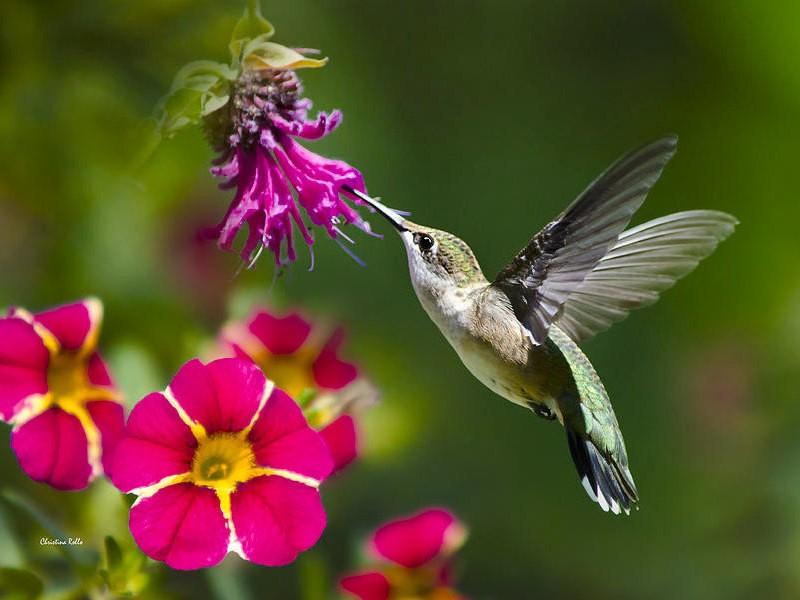Fine Art Photography, Hummingbird Print, Hummingbird Art, Bird Photography, Photo Prints, Humming bird, Wall Art Decor, Hummingbird Flying