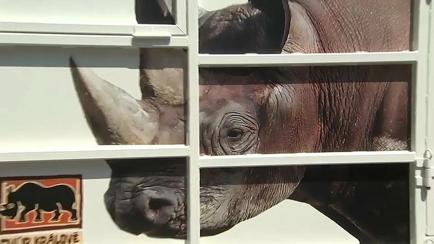 شاهد.. 30 ساعة سفر لحيوانات وحيد القرن من التشيك للتزاوج في روندا