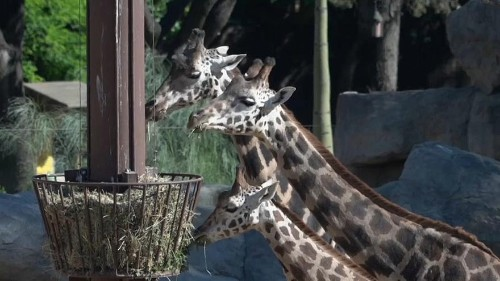 Watch: Barcelona Zoo told to stop breeding unless offspring reintroduced into wild