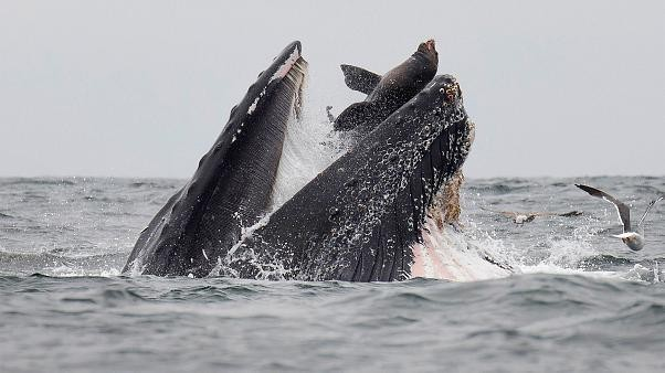 Nature photographer 'snaps incredible picture of sea lion getting caught in a whale's mouth'