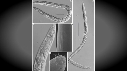 Scientists resurrect worms 42,000 years after they froze in Siberia