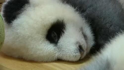Panda in Grau