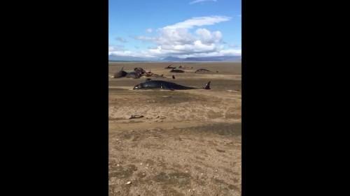 شاهد: فيديو يظهر نفوق 50 من الحيتان الطيارة غرب أيسلندا