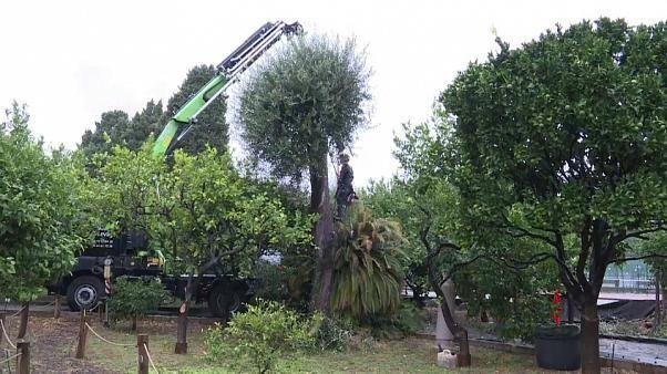 Bakterium bedroht Europas Olivenbäume