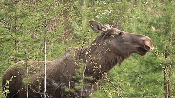 Jagdsaison in Schweden: Elche leben gefährlich