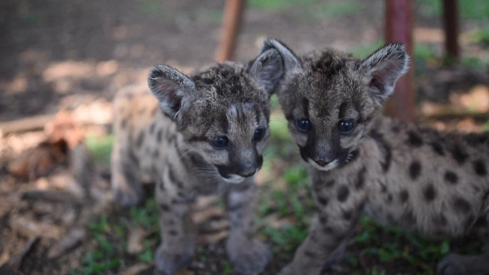 """Pumas """"Pandemie"""" und """"Quarantäne"""" in Mexiko geboren"""