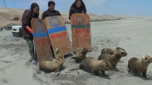 Six sea lions returned to ocean in Peru