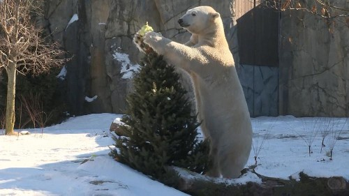 Zoo uses redundant Christmas trees to give animals a treat