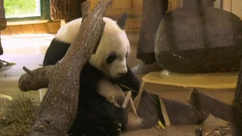 Vienna zoo presents giant panda Yuan Yuan to public