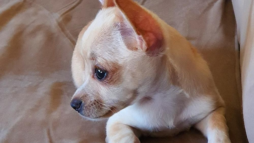 Chihuahua granted last minute reprieve after Jean-Claude Van Damme intervention