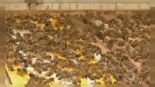 Bal arısı antibiyotiğe alternatif mi oluyor?