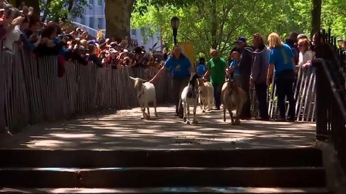 Watch: Rock star's welcome for goats arriving to eat their way through NYC park