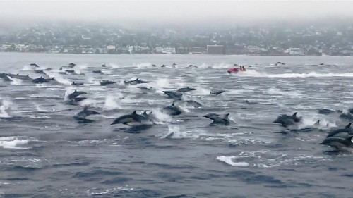 Large pod of over 100 dolphins surrounds boat in California