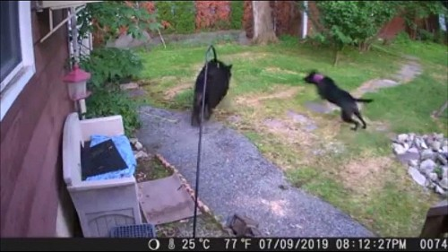 Security camera captures dog chasing bear from garden