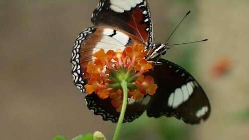 Au Kenya, les papillons créent des emplois et sauvent la forêt