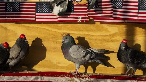 Pigeons with 'Make America Great Again' hats glued to their heads released in Las Vegas