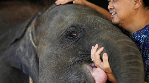 Thai elephant with prosthetic foot is transferred to new home