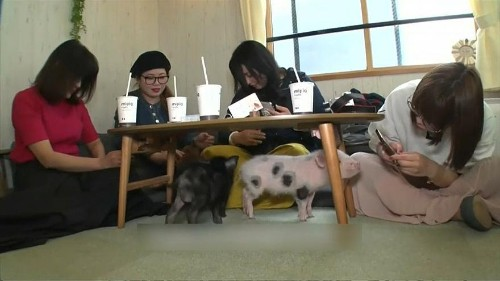 Watch: Teacup pigs take centre stage at Tokyo café