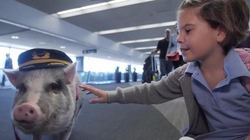 """Lilou, le """"cochon de thérapie"""" qui rassure les passagers avant de prendre l'avion"""