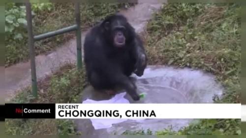 Waschtag im Zoo: Schimpanse Yuhui weiß, wie er T-Shirts sauber bekommt