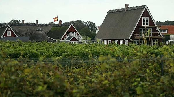 Watch: Swedish wine is on the table, thanks to German grapes