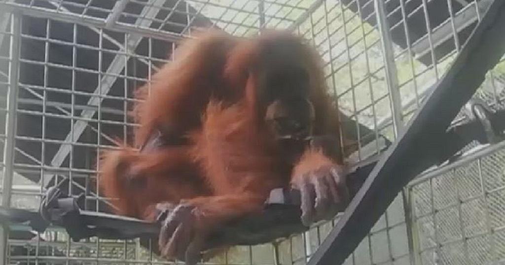 Un orang-outan blessé sauvé en Indonésie | Africanews