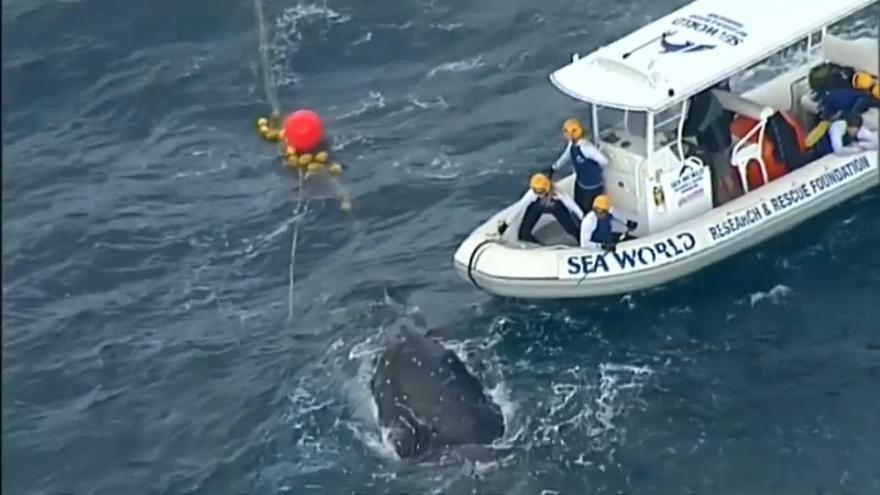 شاهد: إنقاذ حوت علق في شباك لاعتراض أسماك القرش على الساحل الأسترالي من المحيط الهادي