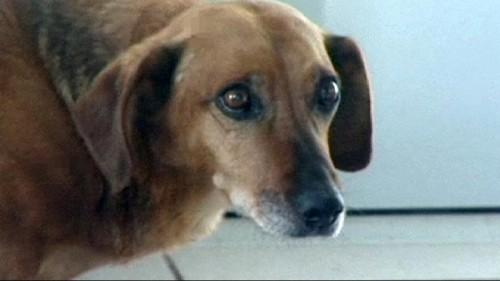 Masha, une chienne fidèle à son maître mort depuis des mois