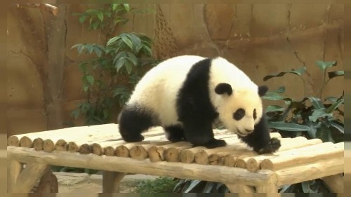 Panda celebrates first birthday in Malaysian zoo with ice cake