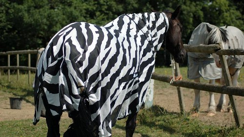 Scientists dress horses up in coats to uncover why zebras have stripes