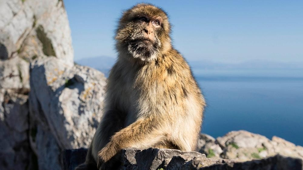 Coronavirus: Gibraltar seeks to protect macaques as it bans human touch