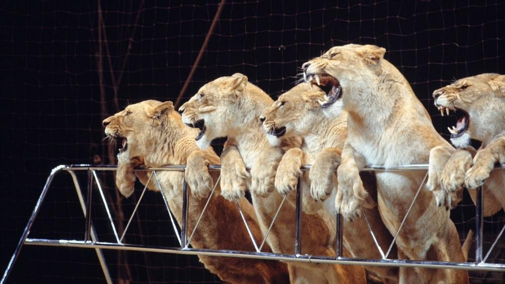 Should wild animals still be used for entertainment at the circus?