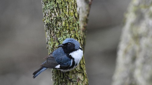 Tiny songbirds, big consequences: Why ornithologists see climate change looming everywhere