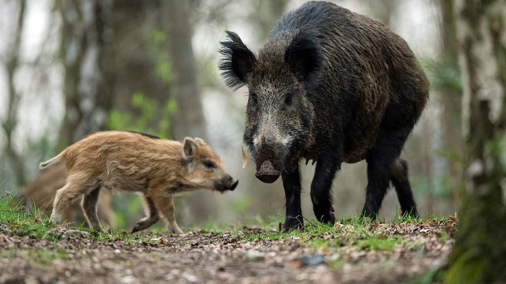 'You swine!' German nudist chases boar that stole his laptop