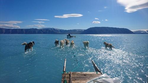 La glace fond au Groenland, et les chiens de traîneau pataugent dans l'eau