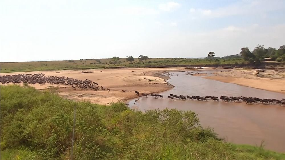 Few tourists show up to watch migration of Kenyan wildebeests amid COVID-19 pandemic