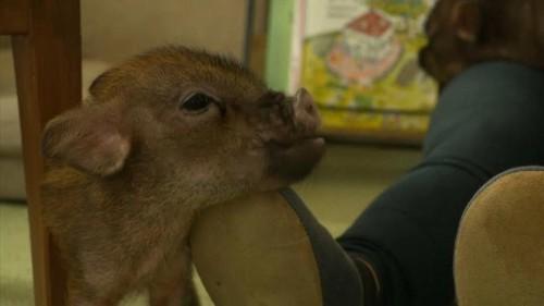 A Tokyo, vous pouvez prendre un café avec votre cochon