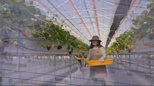اليابان: بعد خمس سنوات على كارثة تسونامي، تراهن على الزراعة بتقنية عالية