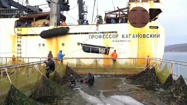 Fin du calvaire pour les mammifères marins retenus en Sibérie