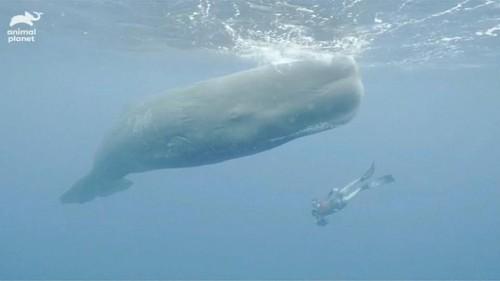 فيديو نادر لحوت العنبر الكبير في البحر الكاريبي