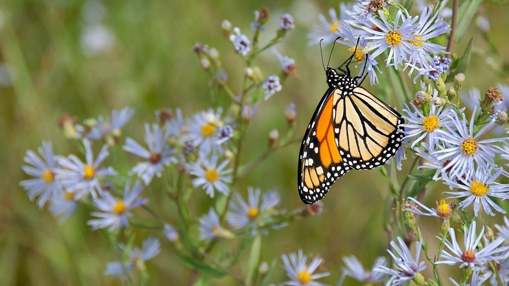 Shade could be key to saving future generations of butterflies
