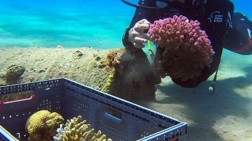 Red Sea corals flourish at previously-restricted Israeli beach