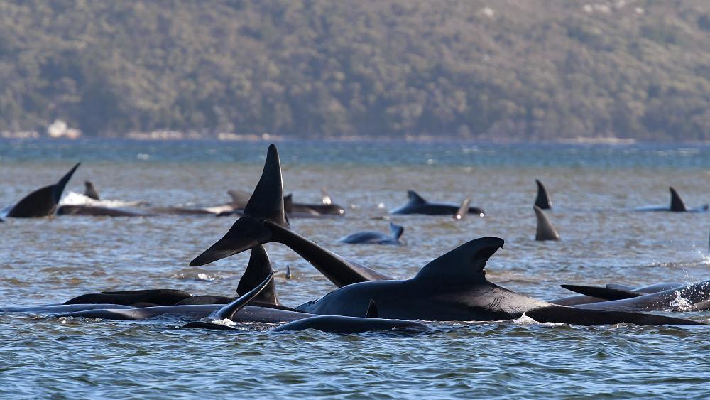 У берегов Тасмании погибли 380 черных дельфинов-гринд