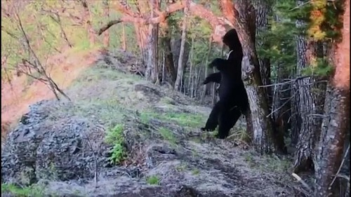Schwarzbär beißt im Nationalpark in Kamera