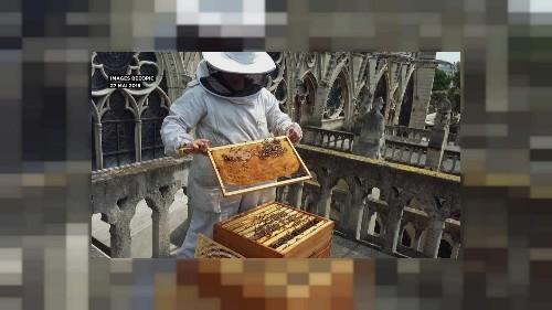Les abeilles rescapées de Notre-Dame