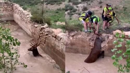شاهد: دراجون ينقذون غزالا حاصرته المياه في إسبانيا