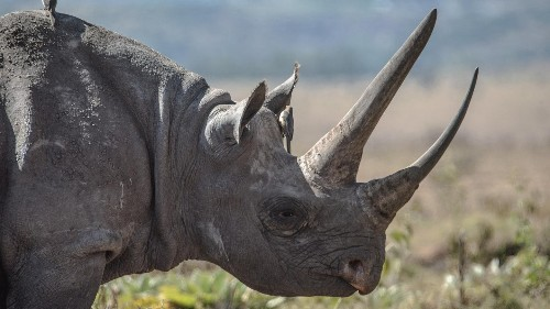 Flying pigs? Not quite, meet Malawi's flying Rhinos
