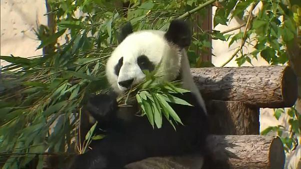 Watch: Panda pair celebrate birthdays at Moscow Zoo