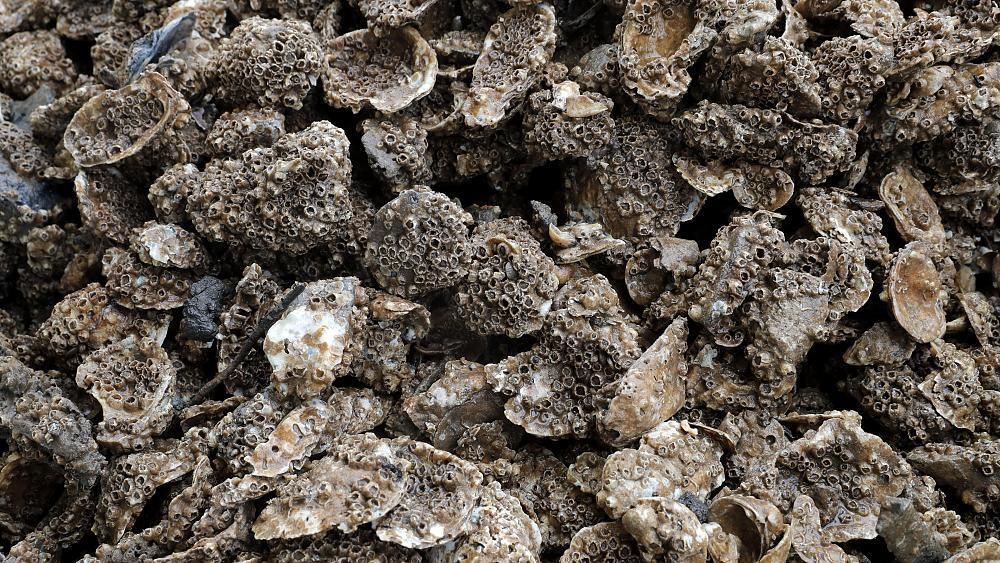 Eine Milliarde Austern für New York