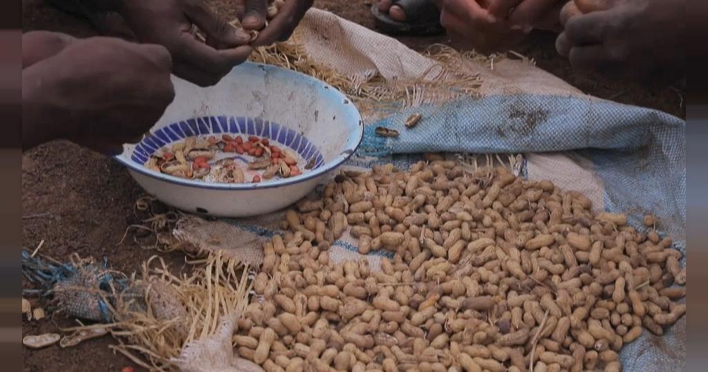 Soudan : L'interdiction d'exportation d'arachides bruts surprend | Africanews